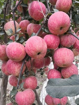 这是一张关于阿克苏冰糖心苹果 75mm以上 条红 膜袋 的产品图片