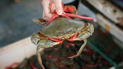 海南省三亚市天涯区盘锦河蟹 3.5-4.0两 母蟹