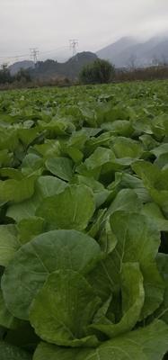 这是一张关于白菜苔 10~15cm 的产品图片