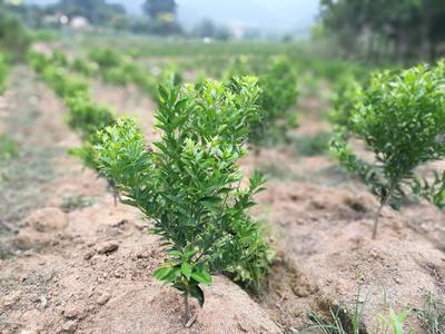 这是一张关于世纪红柑橘苗 移栽苗 0.5~1米 的产品图片