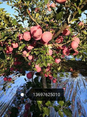 这是一张关于红富士苹果 70mm以上 片红 纸袋 的产品图片