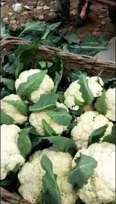 这是一张关于白花菜 的产品图片