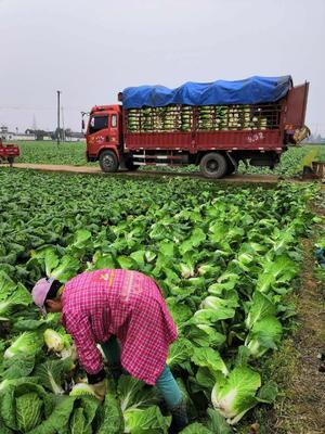 这是一张关于黄心大白菜 3~6斤 毛菜 的产品图片