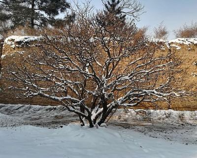甘肃省临夏回族自治州康乐县观赏牡丹 2.5~3米 14~16cm 4cm以下