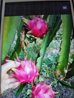 这是一张关于红皮红肉火龙果苗 的产品图片
