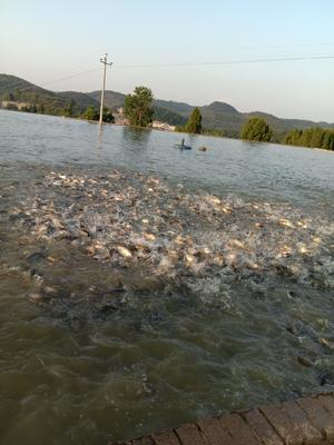 贵州省毕节市金沙县池塘鲤鱼 人工养殖 1-1.5公斤