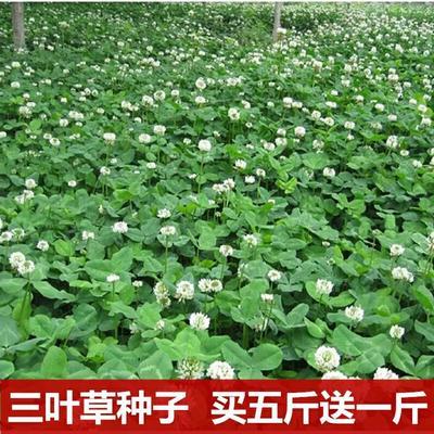 江苏省宿迁市沭阳县白三叶  白三叶草种子四季心形