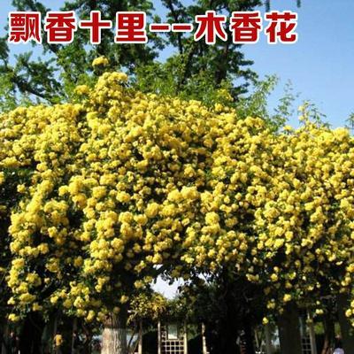这是一张关于木香花 的产品图片