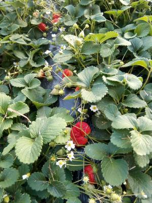 这是一张关于九九草莓 30克以上 的产品图片