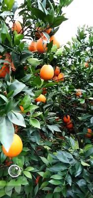广东省广州市黄埔区纽荷尔脐橙 70-75mm 4-8两