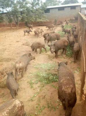 这是一张关于特种野猪 统货 120斤以上 的产品图片