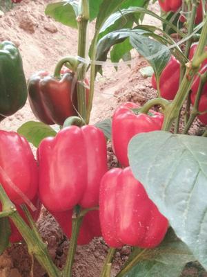山东省潍坊市寿光市五彩椒 混装通货 甜辣 红色