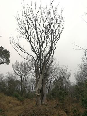 这是一张关于厚朴树 的产品图片