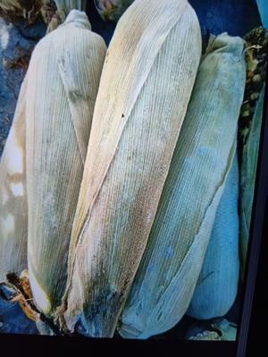 内蒙古自治区赤峰市松山区甜糯玉米 带壳 甜糯