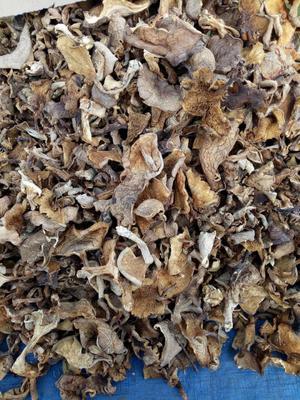 黑龙江省哈尔滨市南岗区蘑菇 野生