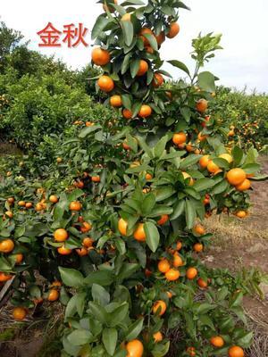 沙糖桔苗 早熟金秋砂糖橘