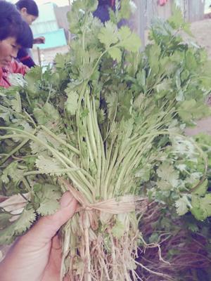 这是一张关于紫花香菜 15~20cm 的产品图片