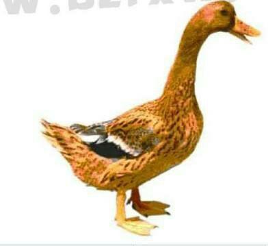 这是一张关于蛋鸭苗 的产品图片