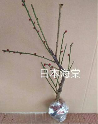这是一张关于日本海棠 的产品图片