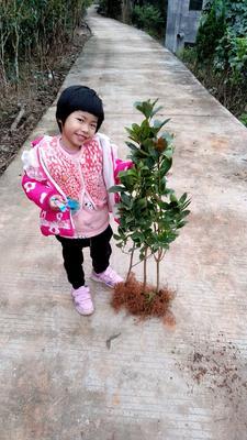 这是一张关于八角树 的产品图片