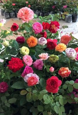 欧月 藤本玫瑰四季爬藤四季