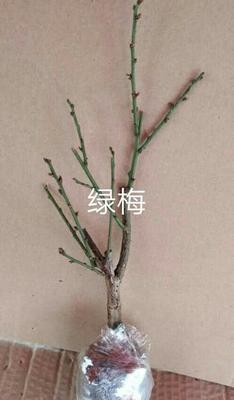 这是一张关于绿梅 的产品图片