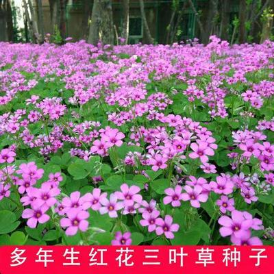 江苏省宿迁市沭阳县红三叶  绿化用白三叶草种子红