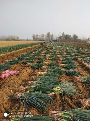 这是一张关于铁杆大葱 30~50cm 毛葱 的产品图片