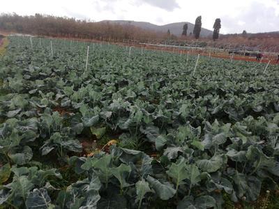 云南省昆明市呈贡区耐寒优秀西兰花 0.5~0.8斤 10cm以下