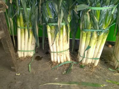 这是一张关于铁杆大葱 混装通货 毛葱 的产品图片