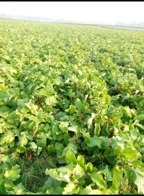 河南省周口市郸城县满身红萝卜 1~1.5斤