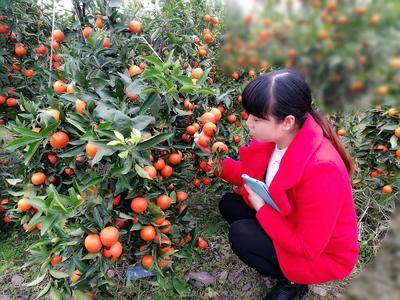 这是一张关于世纪红柑橘苗 嫁接苗 0.5米 的产品图片