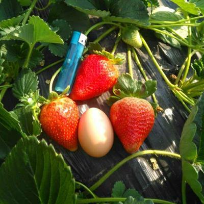 这是一张关于四季草莓苗 10~20公分 地栽苗 的产品图片