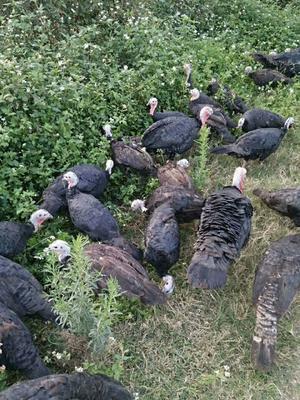 广西壮族自治区贵港市港北区贝蒂纳火鸡 10-15斤