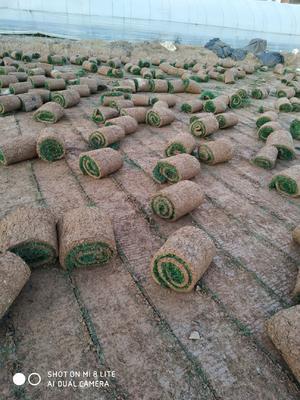 这是一张关于草坪种子  黑麦草  早熟禾  的产品图片