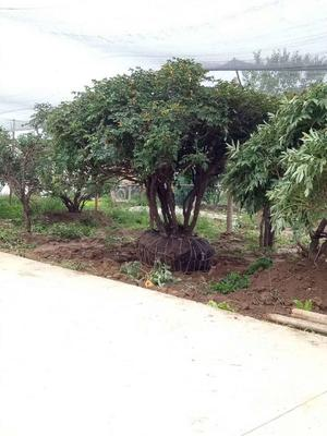 甘肃省临夏回族自治州康乐县观赏牡丹 1.5~2米 2~4cm 4cm以下
