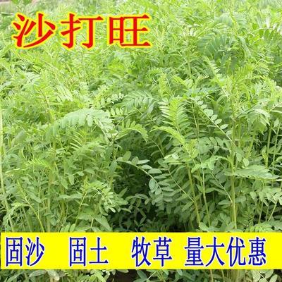 江苏省宿迁市沭阳县沙打旺  沙打旺种子 多年生牧