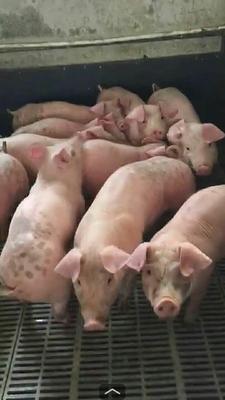 这是一张关于外三元仔猪 的产品图片