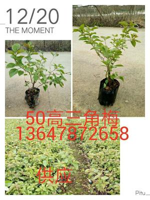 广西壮族自治区南宁市西乡塘区水红三角梅 0.5~1.0米