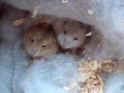这是一张关于荷兰鼠 的产品图片