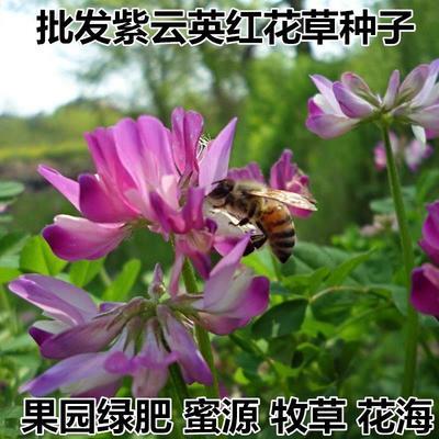 江苏省宿迁市沭阳县紫云英种子  紫云英种子红花草子食
