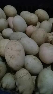 安徽省滁州市定远县土鸭蛋 食用 散装