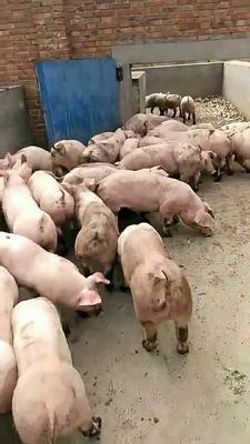这是一张关于红毛白仔猪 的产品图片