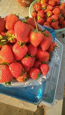 河北省保定市满城县九九草莓 30克以上