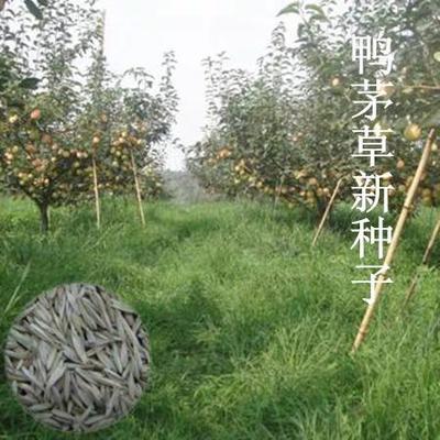 江苏省宿迁市沭阳县鸭茅种子  牧草种子新采优质鸭茅