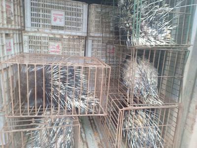 湖南省郴州市嘉禾县中华豪猪 20-30斤