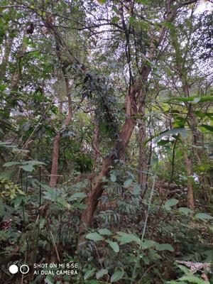 广西壮族自治区桂林市灵川县造型红继木桩