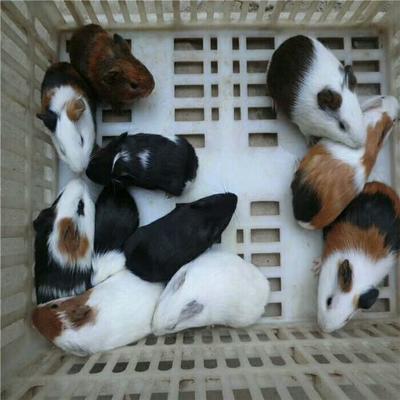 这是一张关于豚鼠 的产品图片