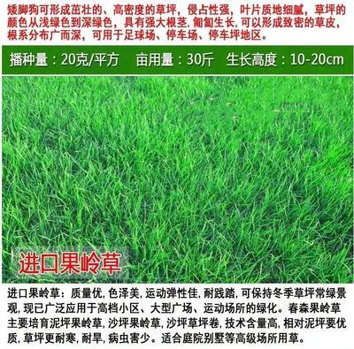 江苏省宿迁市沭阳县果岭草  高尔夫球场用草坪种子