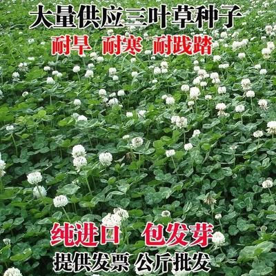 江苏省宿迁市沭阳县白三叶  白三叶草种子草籽红三